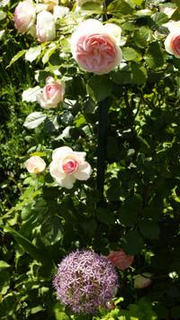 3_20170522_rosepierrederonsard_sd_3