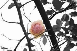 1_20181204_roseofdecember_dsc08390b