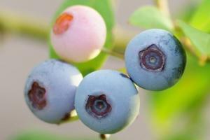 3-20190726-blueberry-dsc10435brwb_ts